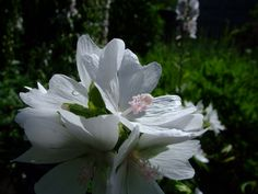 Musk Mallow 'Snow White' (Malva moschata) Perennials, Snow White, Flora, Seeds, Garden, Plants, Garten, Snow White Pictures, Lawn And Garden