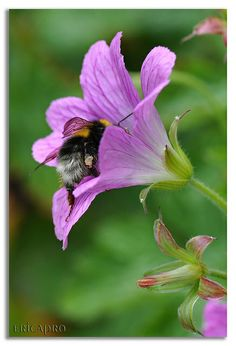 Don't you know I can sorta feel and hear you? I'm trying to overcome some incredible, difficult circumstances over here. Please chill. Buzz Bee, I Love Bees, British Wildlife, Purple Garden, Bee Art, All Gods Creatures, Save The Bees, Bee Happy, Bees Knees