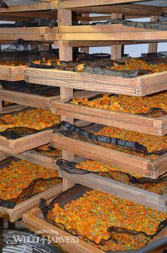 Oregon's Wild Harvest Organic Biodynamic Calendula (Calendula officinalis) in the Dryer #oregon #organicherb #calendula