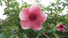 Flores de Jicaltepec. Veracruz