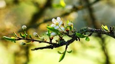 Warm-spring-white-flowers-on-the-branches_hd-wallpaper