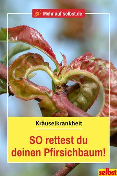 Die Kräuselkrankheit kann Pfirsichbäumen stark zusetzen, bis hin zur Rodung de… The ruffling disease can severely damage peach trees, even clearing the tree. With these tips, you recognize the fungus in time and can fight it! Backyard Projects, Garden Projects, Organic Gardening, Gardening Tips, Organic Farming, Le Baobab, Plastic Plant Pots, Tree Pruning, Garden Maintenance