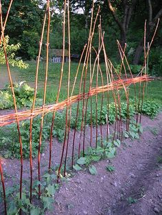 I've been looking for a way to make a large pole bean support without spending a bunch of money.  I think I can do this!  I cut a ton of branches off of the cottonwood trees every year, and they're plenty long and sturdy.