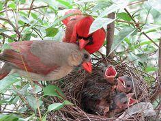 The northern cardinal (Cardinalis cardinalis) is a North American bird in the genus Cardinalis; it is also known colloquially as the redbird or common cardinal. Pretty Birds, Love Birds, Beautiful Birds, Animals Beautiful, Cute Animals, Birds 2, Nester, State Birds, Cardinal Birds