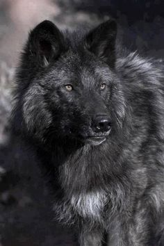 black wolf ~ #black #wolves #animals #wildlife