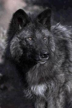 black wolf ~ #black #wolves #animals #wildlife