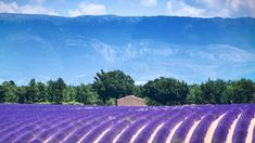 Learn where to travel in France to see the famous lavender fields of Provence in the South of France on your summer vacation. France Europe, South Of France, France Travel, Paris France, Provence France, Images Of France, Middle Island, Road Trip, Destinations