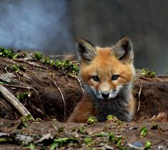 Is the fox one of the unusual pets? - fancy pets baby fox more -Fox as a pet? Is the fox one of the unusual pets? - fancy pets baby fox more - High-Quality Gathering Of Fox Pictures To Spread The Love Pics) - Cheezburger - Funny Memes Forest Animals, Nature Animals, Animals And Pets, Wild Animals, Farm Animals, Unusual Animals, Animals Beautiful, Unusual Pets, Exotic Pets