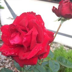 Jak możemy zadbać o nasz ogród we wrześniu? Tworząc sadzonki róż! Właśnie ten miesiąc to idealny czas na przygotowanie młodej rozsady tych pięknych roślin. Krok pierwszy. Przygotuj podłoże do sadz… Dream Garden, Flowers, Plants, Gardening, Balcony, Lawn And Garden, Plant, Royal Icing Flowers, Flower