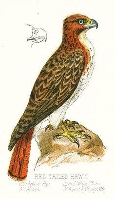 Red Tailed Hawk Drawing    With native American Indian tribes considering the red tailed hawk's feathers sacred and it being a favorite among falconers this bird of prey is perhaps one of the most recognizable hawks in North America.