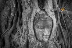 The famous tree statue of the Buddha --Ayuthaya , Thailand