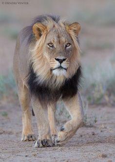 "Kalahari King @ Dawn - A male Lion on patrol early morning before sunrise.  Kgalagadi Transfrontier Park, Kalahari Desert, South Africa/Botswana  © Hendri Venter Follow me on <a href=""https://www.facebook.com/Digitalwild/"">Facebook</a>"
