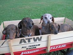 #dogie #wagon #dogs