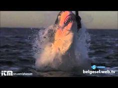 Köpek Balığı foklara Saldırıyor