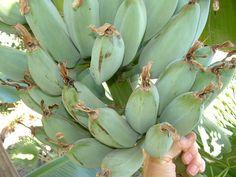 Java Blue Bananas. The icesream banana.