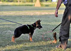 jrm_6632 (24kGSD) Tags: female training ipo schutzhund 3montholdgermanshepherdpuppy altatollhausava