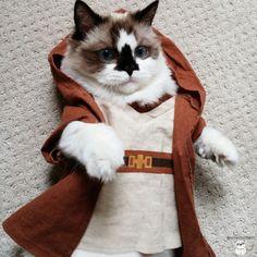 Obi-wan Kenobi kitty.