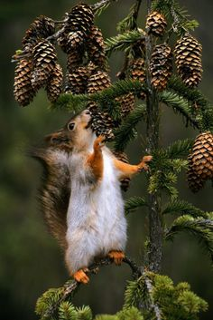 Red Squirrel eating Pine Cones .....