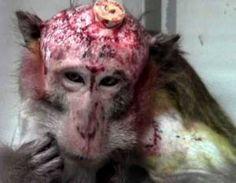 Schreckliche Bilder von Tierversuchen und Affenhirnforschung in Tübingen