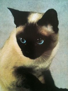 Looks like my Sam who is gone... Love Siamese and my Tonkinese, Eiji...