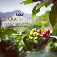 The coffee harvest is in, in Nicaragua.  www.21queenst.com   #coffee #nicaragua #21queenstreetcoffeecompany Street Coffee, Coffee Company, Coffee Love, Harvest, Fruit