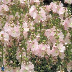 Silkekatost - Sidalcea Elsie Heugh - Florashop.dk