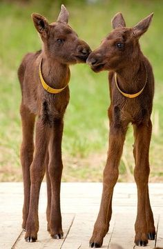 Baby moose! Adorable.