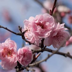 Branch, Flowering Cherry-pink - Wholesale Flowers for weddings and events – Wholesale Florist – Floral, Floral Supply, Flower Distributor Love Flowers, Wedding Flowers, Cherry Blossom Season, Cherry Blossoms, Cherry Flower, Flower Branch, Spring Blooms, Spring Is Here, Pretty In Pink