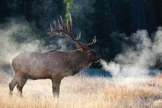 The New Bull: 7 Elk Hunting Experts On Cutting Edge Tips and Tactics | Field…