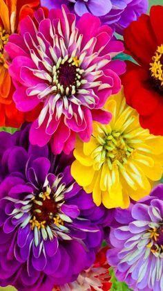 Annual flowers - Bright Zinnias - photographer Karen Harbin