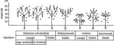 A fűszerpaprika-fajtatípusok alaktani vázrajza