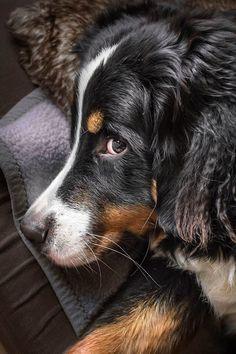 Berner Sennenhund Bernese Mountaun Dog #Bernesemountaindogs
