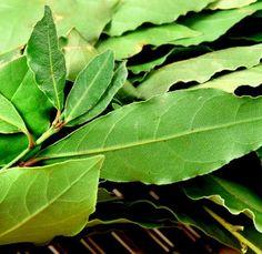 O louro para além de ser usado para temperar a comida, também conta com alguns benefícios para a saúde, por isso aprenda a plantá-lo! #horta #ervas #plantar