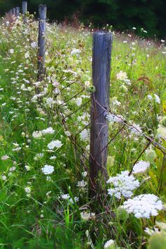 Queen Annes Lace, so pretty at the fence.