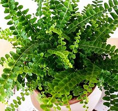 "Amazon.com : Lemon Button Fern - 4"" Pot - Nephrolepis cordifolia Duffii : Plant Seed And Flower Products : Patio, Lawn & Garden"