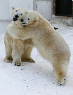 93 Animal Couples That Prove Love Exists In The Animal Kingdom Too Hugging Polar Bears Baby Polar Bears, Cute Polar Bear, Cute Bears, Bear Photos, Bear Pictures, Cute Animal Pictures, Cute Baby Animals, Funny Animals, Wild Animals