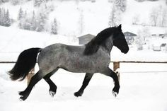 Handsome so very handsome - Blue Roan Cute Horses, Horse Love, Beautiful Horses, Pretty Horses, Noriker Horse, Blue Roan, Majestic Horse, Horse Stables, Draft Horses