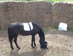 Training horses not to be afraid- Article on how desensitize ing works best