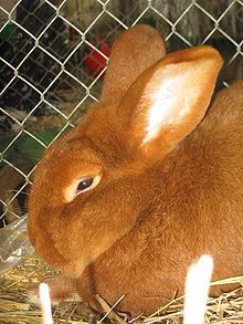 New Zealand red rabbits is a rabbit breed, which despite the name, is American in origin. New Zealand rabbits are available in three ARBA-recognized colors: white, red, and black.