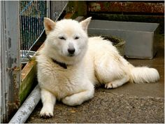 Hokkaido Dog Breed Information This breed of dogs is a very intelligent breed. The thin looking dog has a muscular and sturdy body. This breed of dog has an impulsive gate. These dogs are mostly suitable Hokkaido Dog, What Kind Of Dog, Dog List, Purebred Dogs, Kinds Of Dogs, Face Photo, Livestock, Farm Animals, Dog Pictures