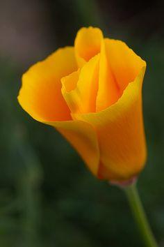 California poppy, Golden poppy, California sunlight or Cup of gold and locally known as Amapola amarilla or Amapola de California. (Eschscholzia californica). Vilaflor, Tenerife, Canary Islands