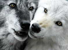 A couple of wolves