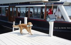 """""""Summer"""" the Golden Retriever getting the paper from Gage's mailboat on Geneva Lake"""
