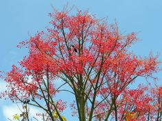 Australian Flame Tree. Need to research this tree, see how often it blooms and drops.