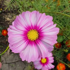 I think I just found my soul plant - 💜 . He Day, Cosmos, Beautiful Flowers, Nature Photography, Floral, Garden, Plants, Inspiration, Biblical Inspiration