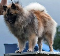 Flamuna Revelations At Runestone   My Sable German Spitz Mittel, top German Spitz Puppy, No 3 top Mittel 2011 with the German Spitz Club of GB. No 1 love of my little boys life :)