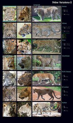 Feline Variations II: Leopard by sindos on DeviantArt Especie Animal, Animal Facts, Mundo Animal, Most Beautiful Animals, Beautiful Cats, Beautiful Creatures, Animals Of The World, Animals And Pets, Cute Animals