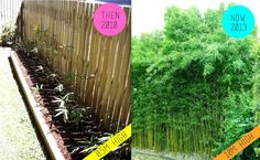 The bamboo creates a lush natural green screen – a perfect privacy solution. Gracilis bamboo is a clumping variety rather than a running bamboo. This means unlike other bamboo varieties it can be contained in a 1 metre wide garden bed and grow to a height of 8-10 metres. When the wind blows the bamboo creates a beautiful rustling sound creating a very calming and relaxing ambience.