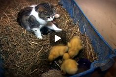 Amazing Cat Feeding Ducklingsn...Mommy Kitty gets a little puzzled at one point!  Lol