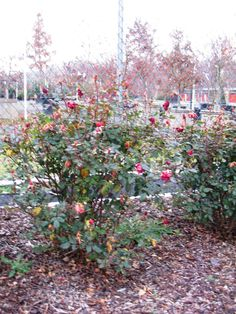 Knock Out Rose Pruning